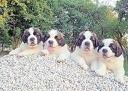 Cuccioli di cane destinati al traffico illegale